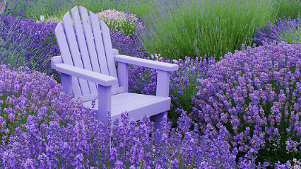 Lavender Festival in Prince Edward County, ( Sun. July 7th, 2019)
